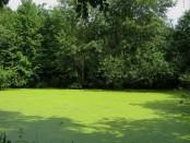 мелкие зеленые водоросли
