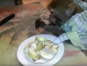Мужчина научил обезьяну пить водку и закусывать (видеофакт)