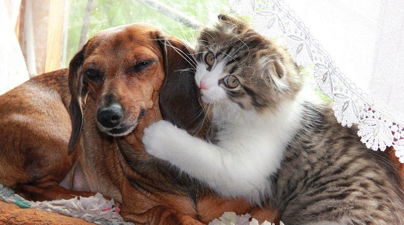 Коты угнетатели, которым не страшны собаки (26 фото)