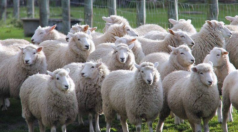 Загадка про овец и пастуха решается лишь 2% - попробуйте разгадать
