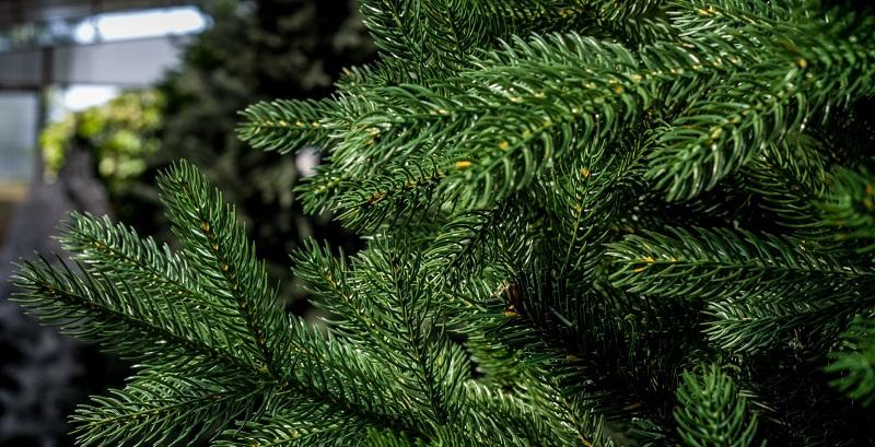 Какую заказать ёлку в СПб на Новый год – пихта фразера или нормандская ель